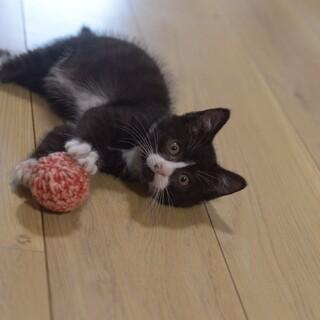 ハチワレの可愛い子猫、人懐っこいです