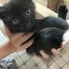 急募 黒猫ちゃん 生後約2ヶ月