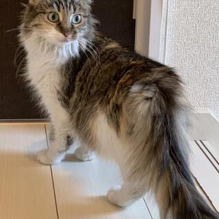 サイベリアン 成猫 メス