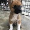 小ぶり予想の小さなオス子犬です。