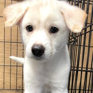 21-M502 真っ白可愛い仔犬♪