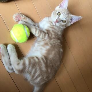 人懐こさ&クリーム色が魅力な美猫