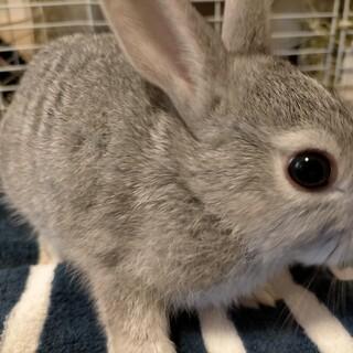 愛らしいグレーのミニウサギ子供の募集です!