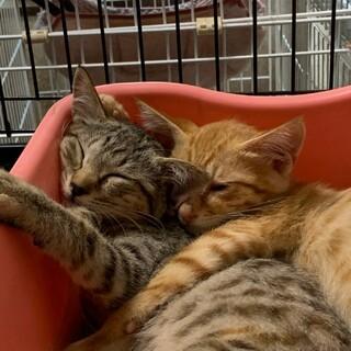 4ヶ月 キジ猫 人懐こい さくちゃん