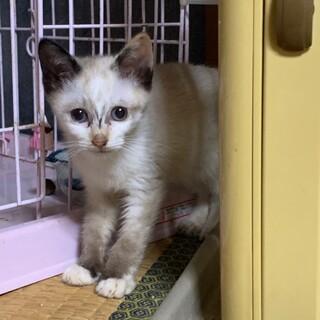 生後3ヶ月⭐︎シャム風?珍しい柄の仔猫ニャン