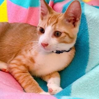 生後4ヶ月 茶トラはちわれ美猫 慣れ慣れいなり君?