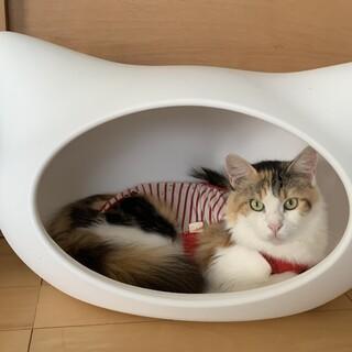 メインクーンの美猫ちゃん❤️