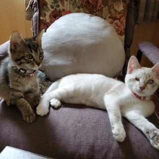 血はつながってないけどずっと一緒 仲良し兄妹猫