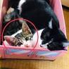 【里親募集】子猫♀を保護しました(現在約3ヶ月)