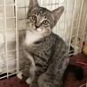 手袋と足袋の可愛い3ヶ月のキジ猫です