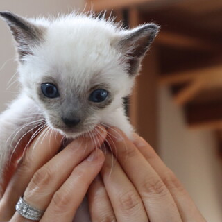 ふわっふわのシャム系イケ猫になるかもしれない男の子