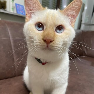 青い目の白ねこの男の子