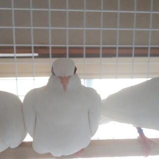 ギンバト♂3羽♀1羽います。