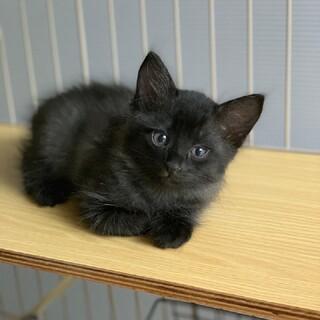 スモーキーブラックのかっこいい縞模様の子猫