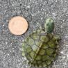 ミドリガメ赤ちゃん甲羅約4センチ