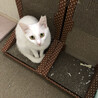 真っ白の美猫