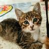 イケニャン子猫✨人慣れ、猫慣れ抜群