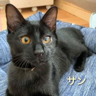 抱っこ大好き甘えん坊で可愛い黒子猫の「サン」