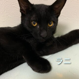 遊ぶの大好き無邪気で可愛い黒子猫の「ラニ」