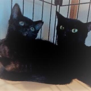 黒いシルクの美猫・兄妹仔猫ちゃん