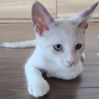 【きよみ】シャム風青目の甘えっ子少女猫
