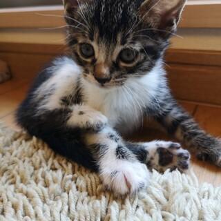 生後1カ月可愛いキジシロの男の子です