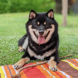 フレンドリーな11ヶ月の柴犬の男の子