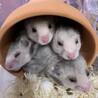 ゴールデンハムスター、長毛・黒クマの子供 4匹