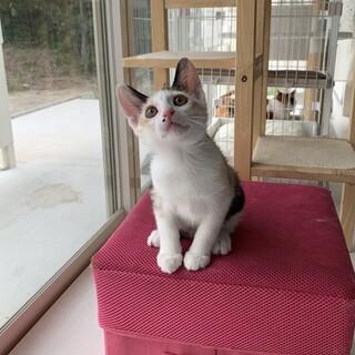 うさぎしっぽの三毛猫ちゃん