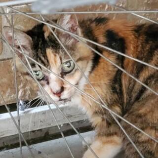 8月2日保護三毛猫