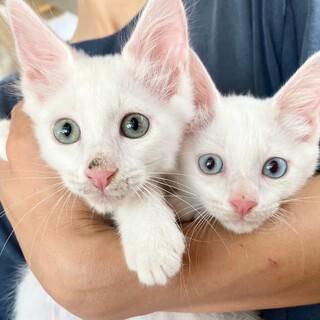 懐っこい白猫兄弟☆みぞれ&ふぶき 2ヶ月