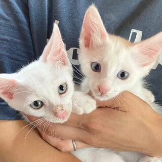 懐っこい白猫兄妹☆おもち&とうふ 2ヶ月