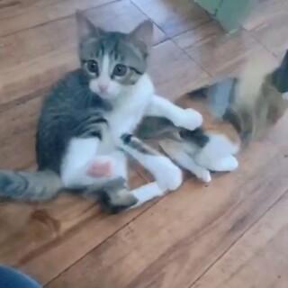 白キジ・:*+.仔猫