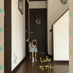 Luluちゃん、頑張ってます!