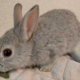 愛らしいミニウサギ子供の募集です!