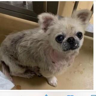 迷子の小型犬です。8/10より譲渡開始。