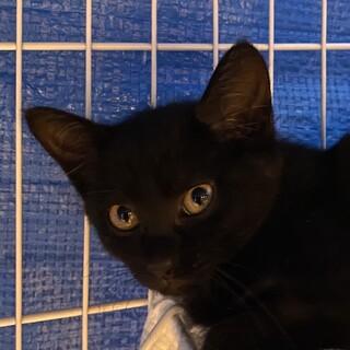 美猫!黒猫仔猫バジルの里親さん募集中。