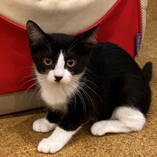 ハチワレの可愛い仔猫ローズマリーの里親さん募集中。