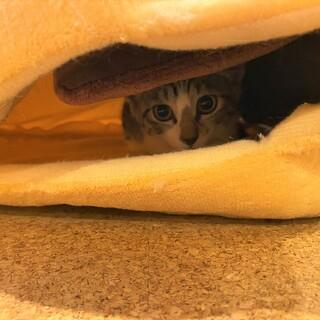 コアラ鼻が可愛い仔猫カモミールの里親さん募集中。