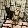 2匹一緒に!アメショ柄のペコ&黒猫ポコ