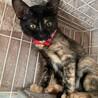 エレガントなサビ子猫