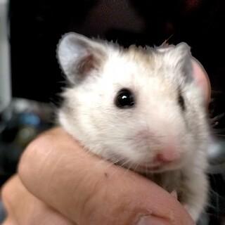 生後2ヶ月以上のハムスター達の里親募集、複数匹可