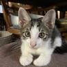 激かわ。きじしろ♂子猫