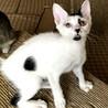 【ホー】人慣れした天真爛漫白地黒斑子猫 サムネイル3