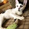 【ホー】人慣れした天真爛漫白地黒斑子猫 サムネイル5