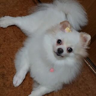 ポメラニアン 5歳★ひまわりちゃん 繁殖引退犬