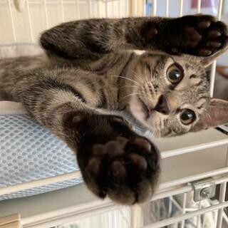 ボクと暮らそう♪人慣れ甘えん坊可愛いキジトラ仔猫!