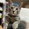 とっても甘えん坊なキジトラの男の子。2ヶ月半