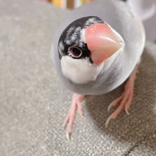 パイド文鳥♂