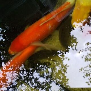 里親募集  錦鯉 橙系 40cm前後